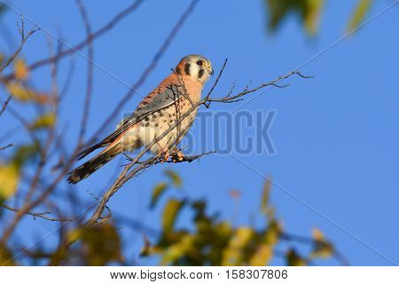 American Kestrel or sparrow hawk perched upright on a branch scanning for prey