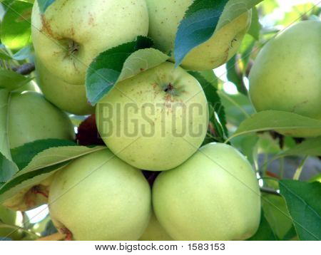 Apples,Golden Delicious