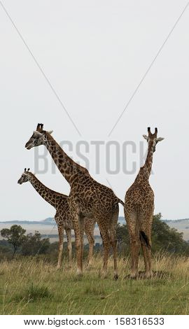 Three Rothschild's giraffes gathered in grassland in sub Saharan Africa against a gray sky.