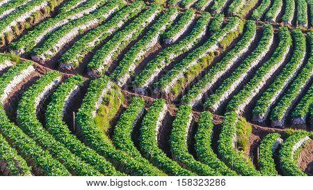 Strawberry terrace plantation at doi angkhang mountain chiangmai thailand