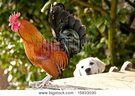Rooster with Golden Retriever