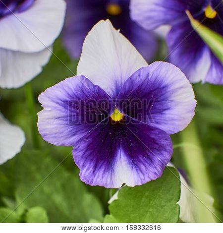 white and mauve pansy flower closeup in the garden
