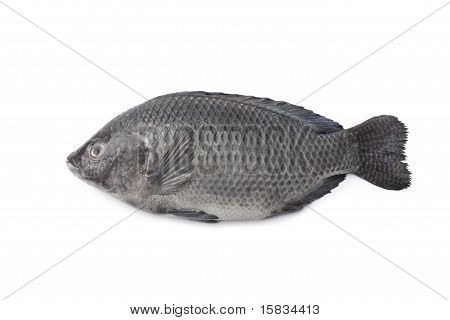 Whole single Fresh raw Tilapia fish