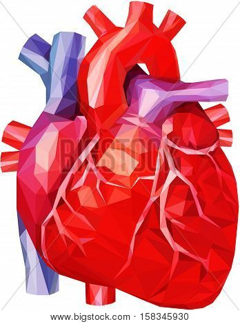 Human heart low poly with veins and aorta