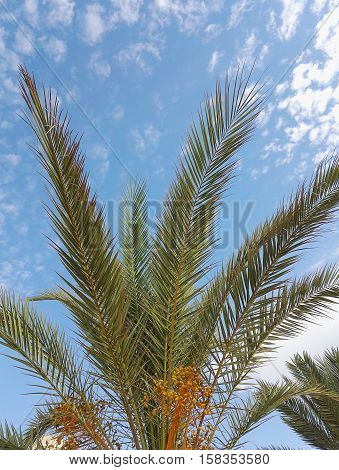 palm tree with date fruit on background of blue sky with clouds