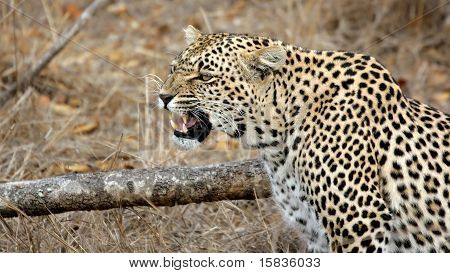 Leopard In Bad Mood