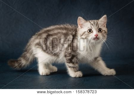 Scottish Straight cat on dark blue background