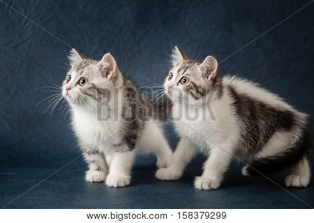 Two small striped young kittens scottish straight, sitting on a dark blue background
