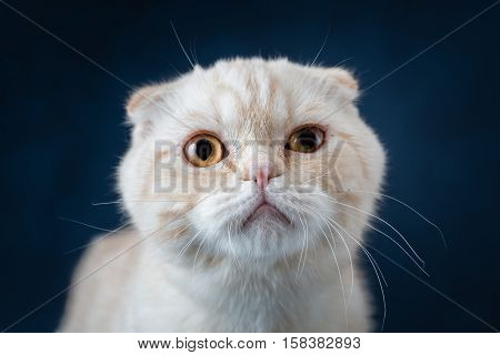 Portrait of cat scottish fold on blue background