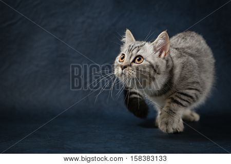 Portrait of Scottish Straight cat with beautiful yellow eyes on blue background