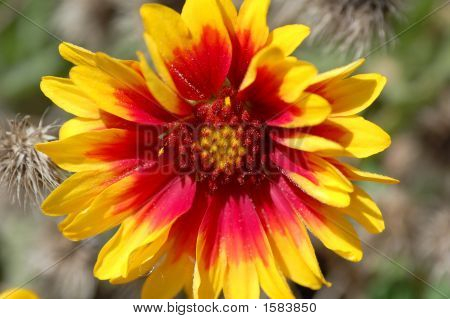 Aster Red, Yellow