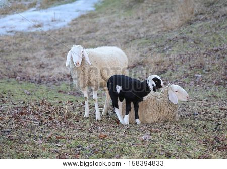 Sheep Family With Father Mother And Lamb