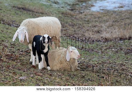 Family Of Sheep With Young Lamb In The Meadow