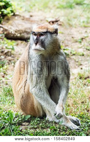 Patas monkey - Erythrocebus patas also known as the wadi monkey or hussar monkey is a ground-dwelling monkey distributed over semi-arid areas of West Africa and into East Africa.