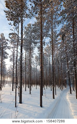 A snowy pine forest during a sunny day.