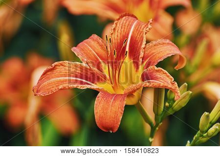 Large Prominent Flower of Lilium Showing Stamens
