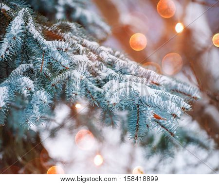 Frosty winter landscape in snowy forest. Pine branches covered with snow in cold winter weather. Christmas background with fir trees and blurred background of winter