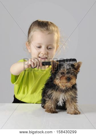 Little girl is combing the yorkshire terrier