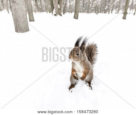 Curious Squirrel With Fluffy Ears Looking Leftward On Snowy Ground