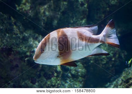Emperor red snapper (Lutjanus sebae), also known as the government bream.