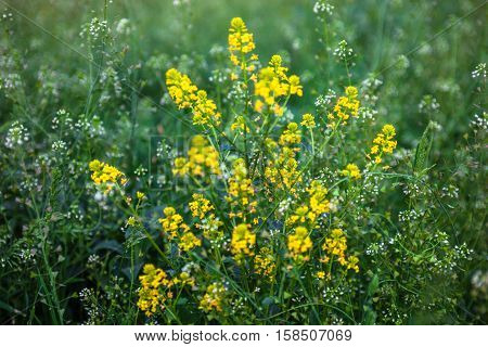 Meadow with rapeseed and shepherd's purse flowers