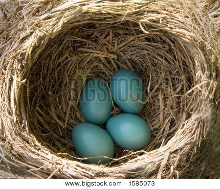 American Robin'S Nest (Turdus Migratorius)