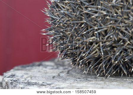 Hedgehog On The Tree Stump. Hedgehog Curled Up Into A Ball