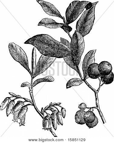 Huckleberry Or Gaylussacia Resinosa Engraving