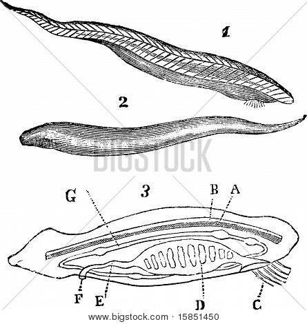 Lancelet ( Amphioxus Lanceolatus ) Top, Bottom And Inside View Vintage Engraving.