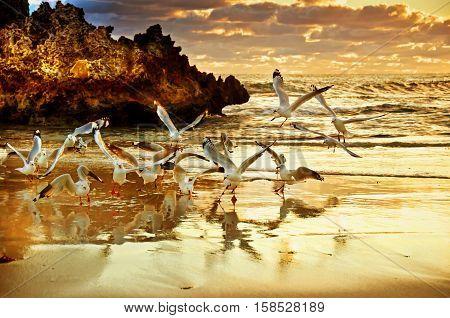 Two Rocks  North of  Perth  Gulls at Sunset - W Australia