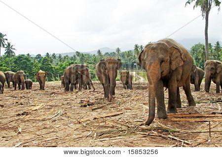 Flock Of Elephants In The Wilderness
