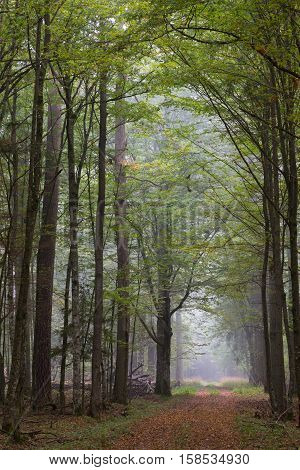 Straight ground road leading across misty autumnal deciduous stand with old treesBialowieza ForestPolandEurope