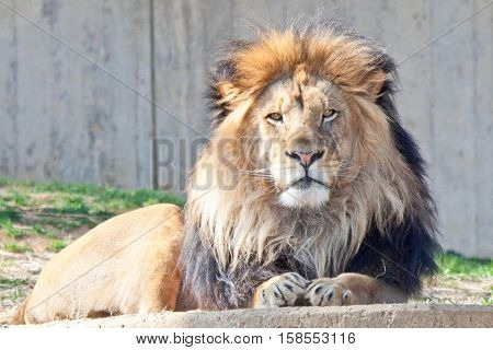 Lion resting in his habitat at National Zoo