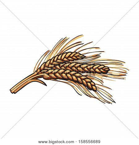 Hand drawn bunch of malt, barley ears, sketch style vector illustration isolated on white background. Hand drawn ripe ears of malt, barley, wheat or rye
