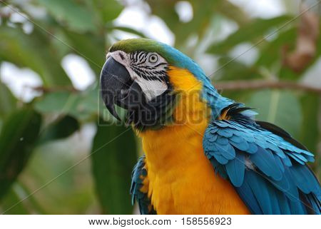 Blue and yellow macaw bird with ruffled feathers.