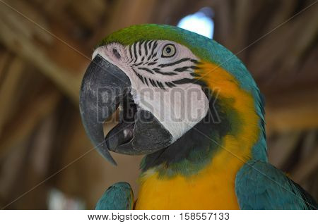 A close look at the face of a blue and gold macaw bird.