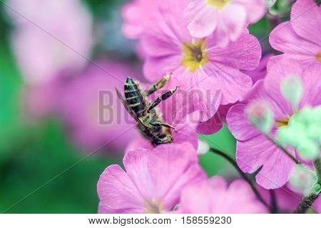a bee gathering honey from pink flower