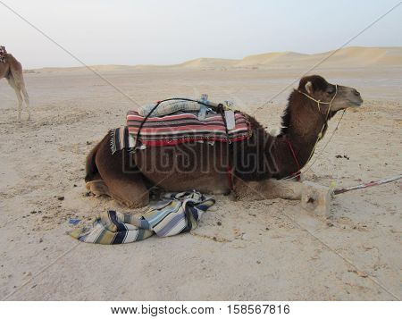 camel with vyyuky on a back in the Sahara Desert