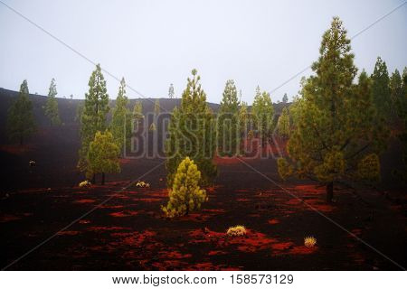 Canary pine tree on the slope of the volcano Teide on Tenerife. Spain