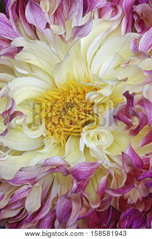Dahlia flower (Dahlia x cultorum). Close up image of flower