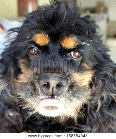 Face of a Black and Tan Cocker Spaniel