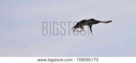 Pied kingfisher with black and white plumage hovering over a river