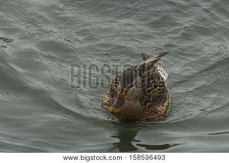 Nature, fauna, animals, birds, ducks, Mallard, Anas platyrhynchos, family Anatidae, Anatidae, waterfowl squad, Anseriformes, wild