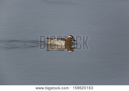 mirrored male garganey duck (Anas querquedula) swimming on water surface