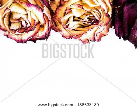 The isolated frame nature dried rose.
