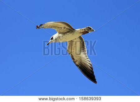 Seagull in flight against blue sky, California.