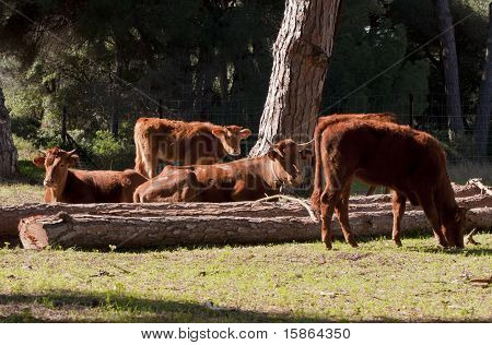 A Herd Of Spanish Cows