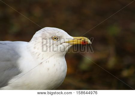 An adult Herring Gull in it's winter plumage with faint grey streaks in it's feathers