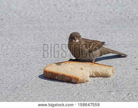 Sparrow and bread. Karlskrona, Sweden - June 09, 2014 Young sparrow with a slice of bread at the yacht harbor in Karlskrona.