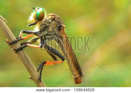 robber fly waiting for prey on the grass